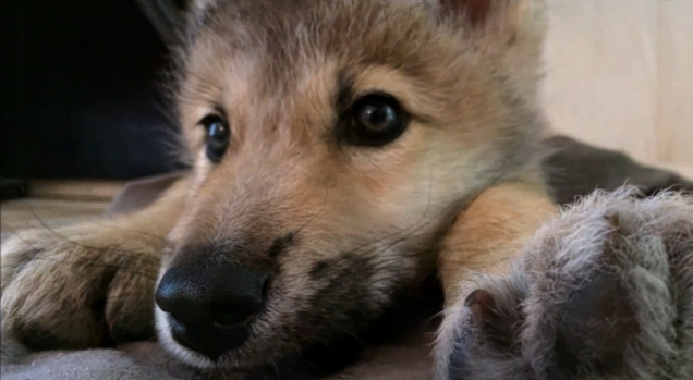 Image result for images of wolf pups