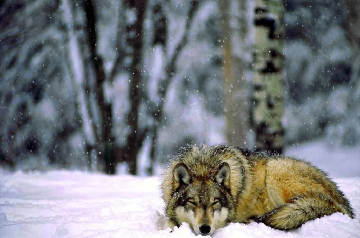 Image result for images of wolves